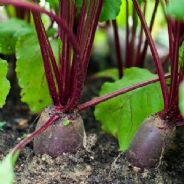 Beetroot Forono - Appx 500 seeds